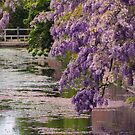 WEEPING WISTERIA by Michael Carter