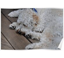 Boomer the Labradoodle Poster