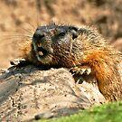 bored marmot by Rodney55
