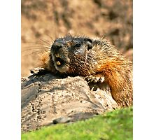 bored marmot Photographic Print