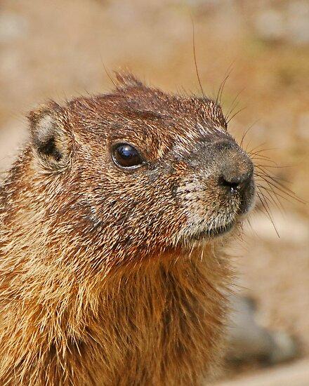Marmot head by Rodney55