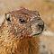 Capybaras, Marmots & Pikas - Oh My!