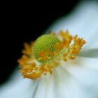 Macro shot of white anemone by Themossgirl