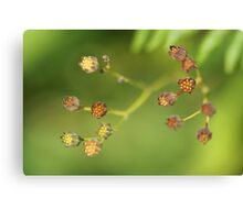 Dandelion species Canvas Print