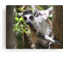 Curious Lemur ~ landscape Canvas Print