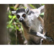 Curious Lemur ~ landscape Photographic Print