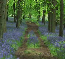 Bluebell way by miradorpictures