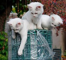 Three Kittens on Roll of Garden Fencing  by jojobob
