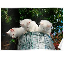 Three Kittens on Top of Garden Fencing Roll  Poster
