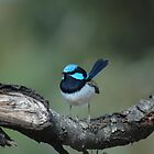 Male Surperb Fairy-Wren / Malurus cyaneus by John Martin