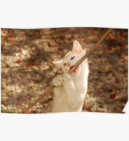 White Kitten Biting on Stick  Poster