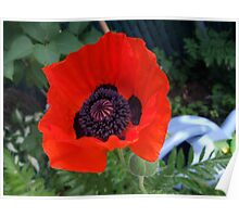 First Poppy of the Season in Mo's Garden 3 Poster
