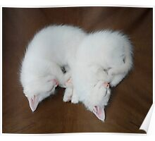 Sleeping White Kittens  Poster