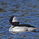 Bufflehead Drake by tomryan