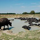 Water Buffalo by Pond  by jojobob