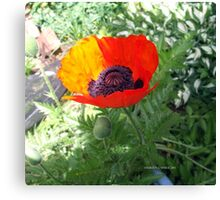 First Poppy of the Season in Mo's Garden 4 Canvas Print