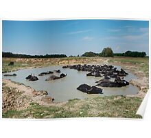 Water Buffalos by Pond  Poster