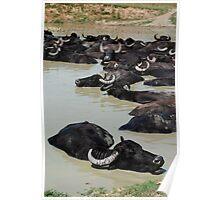 Water Buffalo Wallowing in Mud, Hungary  Poster