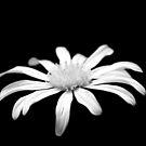 White flower b&w 0638 by João Castro