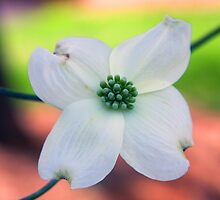 Dogwood Flower by dstorm31
