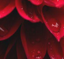 Red Dahlia w/dew by dstorm31
