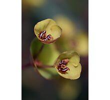 Euphorbia cups Photographic Print