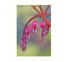 Bleeding Heart with Dewdrops Art Print