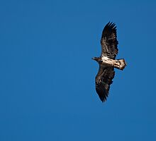 Juvenile Bald Eagle   by Jeff Palm Photography