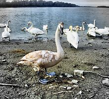 Swans on the Danube river bank by robertpatrick