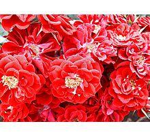 Dashing Roses Photographic Print