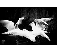 swooping seagulls Photographic Print