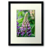Lupin Flower Framed Print