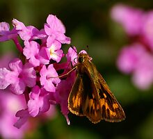 Fiery Skipper by Bill Morgenstern