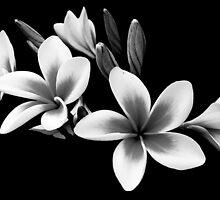 Black and White Frangipani by Helen Martikainen