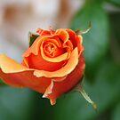 Orange Delight by Chappy