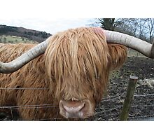 Hamish the Hairy Coo Photographic Print
