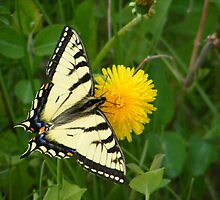 Yellow Swallowtail On Dandylion by Barrie Daniels