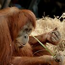 Orangutan Kamil at Melbourne Zoo by Tom Newman