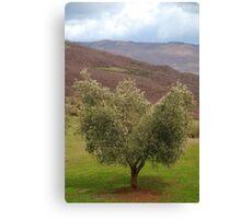 Olive Tree, Tuscany  Canvas Print