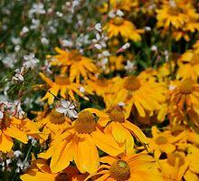 Rudbeckia Herbstsonne  by jojobob