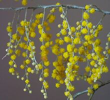 wattle ...  by Helen Corr