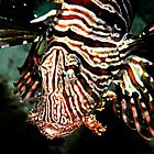 A lion fish up close and personal by Aziz T. Saltik