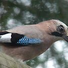 The Eurasian Jay (Garrulus glandarius)  by DutchLumix