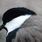 The Spur-winged Lapwing  by DutchLumix