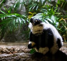 Ring-tailed Lemur by Kathy Weaver