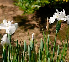 White Irises at Koko-En Gardens  by jojobob