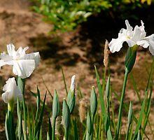White Irises at Koko-En Gardens  by jojobob
