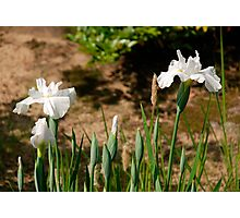 White Irises at Koko-En Gardens  Photographic Print