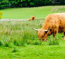 Scottish Highland Cows by Stanciuc