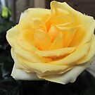 Rose d'Or by Pamela Jayne Smith